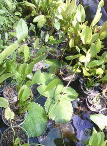 Эхинодорус: посадка, выращивание и уход за растением в теплице