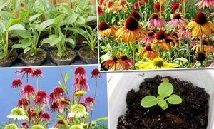 Эхиум: виды, уход и размножение растения