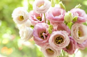 Эустома лизиантус – самый удачный аналог розы