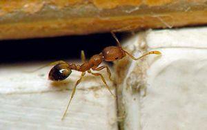 Как бороться с домашними муравьями?