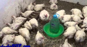 Как дома вырастить бройлерного цыпленка