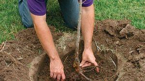 Как готовиться к посадке и высаживать яблони и груши