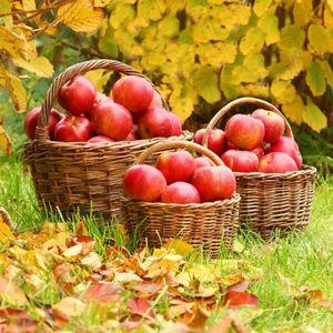 Как хранить яблоки зимой свежими да подольше