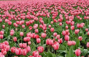 Как хранить луковицы тюльпанов после цветения?