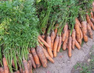 Как хранить морковь до нового урожая