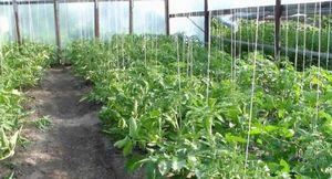Как и для чего подвязывать помидоры в теплице