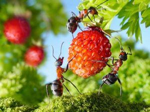 Как избавиться от муравьев на огороде?
