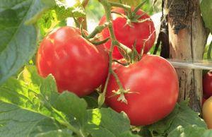 Как накормить и защитить томаты от болезней