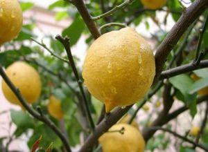 Как нужно ухаживать за лимоном