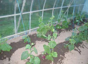 Как получать высокие урожаи малины, смородины, крыжовника, вишни