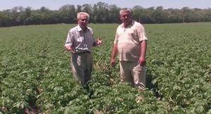 Как получить два урожая картофеля