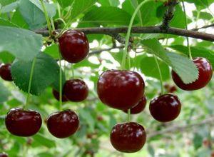 Как получить, вырастить корнесобственные саженцы вишни
