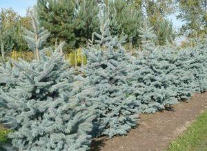 Как посадить елку на участке: подготовка саженца и правила посадки