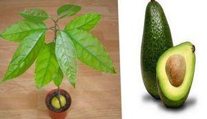 Как посадить косточку авокадо: особенности выращивания дерева