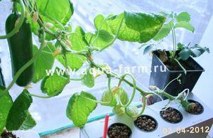Как посадить огурцы?