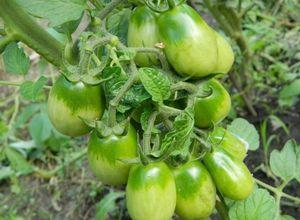 Как правильно подкармливать помидоры: дрожжами, йодом, сывороткой