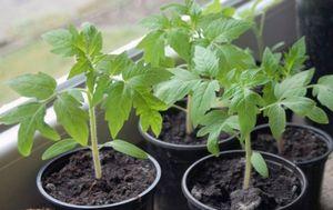 Как правильно сажать в торфяные таблетки семена и рассаду