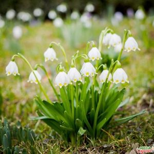 Как правильно выращивать белоцветник весенний?