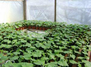 Как правильно выращивать перец в теплице из поликарбоната