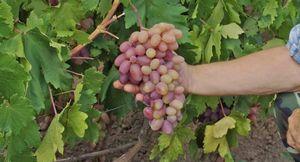 Как правильно выращивать сорт винограда преображение?