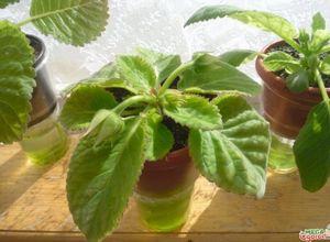 Как правильно вырастить глоксинию из семян