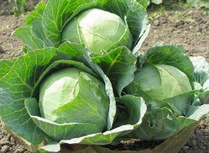 Как правильно вырастить капусту