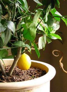Как прививать лимон в домашних условиях: правила и советы