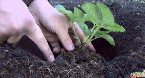 Как сажать клубнику весной: подготовка почвы и высадка рассады