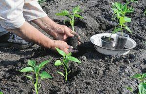 Как сажать рассаду помидор - подготовительные работы и особенности посадки