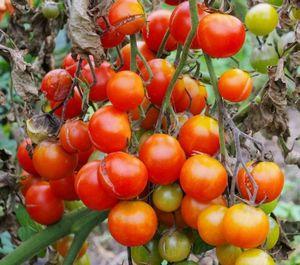 Как сберечь помидоры от болезней в августе