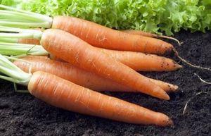 Как сеять морковь?