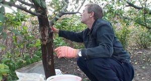 Как ухаживать за поврежденными плодовыми деревьями