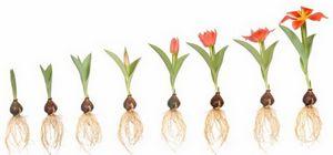 Как выбрать луковицы для посадки тюльпанов?