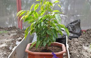Как выращивается фикус кинки