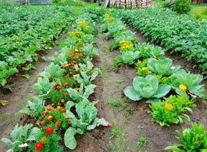 Как выращивать бархатцы от посева до сбора семян