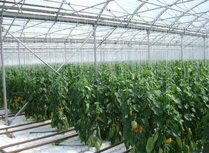 Как выращивать лимон: создание в теплице оптимальных условий