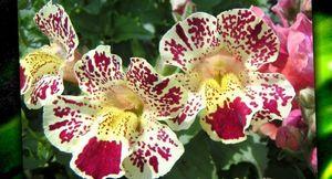 Как выращивать мимулюс из семян – лучшие правила и рекомендации