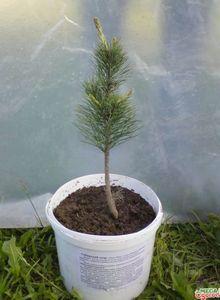 Как вырастить ель из ветки: советы по уходу, методы выращивания, сорта