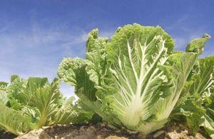 Как вырастить капусту? болезни капусты.