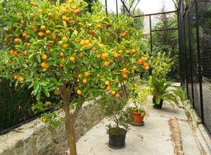 Как вырастить мандарин в теплице — выбор сорта, посадка и уход
