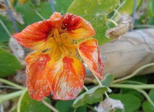 Как вырастить настурцию, чтобы получить обильное цветение