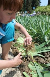 Как вырастить незабудки из семян: готовимся к жаркому лету