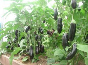 Как вырастить огурцы и баклажаны в одной теплице