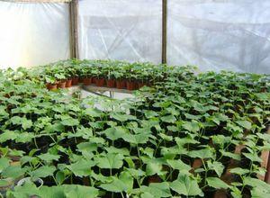 Как вырастить рассаду огурцов: подготовка семян, почвы и высадка в грунт