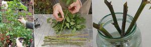 Как вырастить розу из черенка: подготовка черенка и лучшие методы укоренения