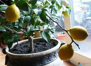 Как вырастить сильное и красивое мандариновое дерево из косточки