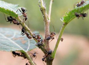 Как вывести муравьев на даче