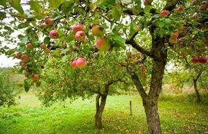 Как защитить плодовые деревья в саду