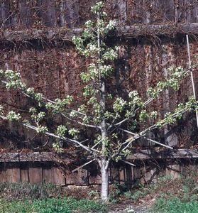Как же должно выглядеть идеальное плодовое дерево?