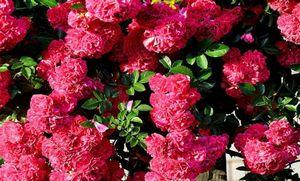 Какие бывают розы: виды и оттенки